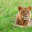 Young African Lion in the Lake Nakuru National Park, Kenya — ストック写真