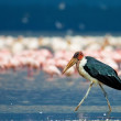 Marabou Stork (Leptoptilos crumeniferus), Lake Nakuru, Kenya, flamingos in the background — Stock Photo