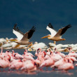 White pelicans and flamingos in Lake Nakuru National Park - Kenya, Africa — Stock Photo