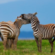 Zebras in the Lake Nakuru National Park in Kenya, Africa — Stock Photo
