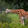 Rotschild's giraffe (Camelopardis Rotschildi) in Lake Nakuru National Park, Kenya — Stock Photo