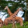 Giraffes in National Park, Kenya - Stock Photo
