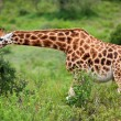 Rotschild's giraffe (Camelopardis Rotschildi) in Lake Nakuru National Park, Kenya - Stock Photo