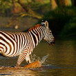 Zebra crossing a river in the Lake Nakuru National Park, Kenya - Stock Photo