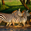 Zebras crossing river in Lake Nakuru National Park, Kenya — Stock Photo #17643205