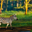 Zebra in the Lake Nakuru National Park in Kenya, Africa — Stock Photo