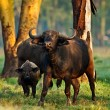 African buffalo in the Lake Nakuru National Park - Kenya - Stock Photo