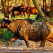 African buffalo crossing a river in the Lake Nakuru National Park - Kenya — Stock Photo
