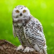Snowy owl (Bubo scandiacus) — Stock Photo #17643499