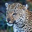 Leopard (Panthera pardus) in the Okavango Delta, Botswana — Stock Photo