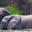 Stock Photo: Male Africelephants, KazingChannel (Uganda)