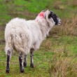 Blackhead sheep in the Scottish highlands - Stock Photo