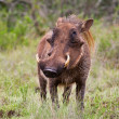 Male warthog in Kruger National Park, South Africa — Stock Photo