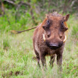 Male warthog in Kruger National Park, South Africa — Stock Photo #17643801