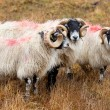 Stock Photo: Blackhead sheeps in Scottish highlands