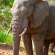 Africelephant in Kruger National Park, South Africa — стоковое фото #17643807