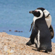 Pair of African penguins (Spheniscus demersus), Simon's Town, Western Cape, South Africa — Stock Photo