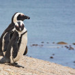 Pair of African penguins (Spheniscus demersus), Simon's Town, Western Cape, South Africa — Stock Photo #17643861