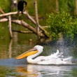 White pelican — Stock Photo #17643987
