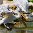 White pelicans — Stock Photo