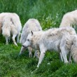 Large adult arctic wolves in the forest - Stock Photo