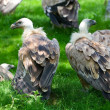 Stock Photo: Europegriffon vultures (Gyps fulvus fulvus)