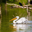 White pelican — Stock Photo #17644189