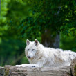 Stock Photo: Large adult arctic wolf in forest