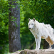 Large adult arctic wolf in the forest - Stock Photo