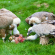 Foto de Stock  : Europegriffon vultures (Gyps fulvus fulvus) eating meat