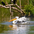 White pelican — Stockfoto