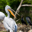 White pelican — Stock Photo #17644271