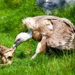 Stock Photo: Europegriffon vulture (Gyps fulvus fulvus) eating meat