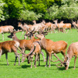 Deers on a field - Stock Photo