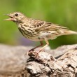 图库照片: Song Thrush (Turdus philomelos)