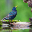 EuropeStarling (Sturnus vulgaris vulgaris), about to take bath. — Stock Photo #17644639