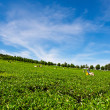 Harvesting tea on a tea plantation — Stock Photo