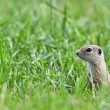 Prairie Dog in the grass — Stock Photo