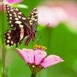 Beautiful butterfly rests on pink flower in Lake ManyarNational Park, Tanzania — Foto de stock #17644691