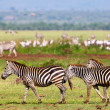 Zebras in the Serengeti National Park, Tanzania — Stock Photo