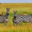 Zebras in Serengeti National Park, Tanzania — Stock Photo #17644725