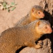 Stock Photo: Dwarf mongoose in Serengeti National Park, Tanzania