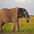 African elephant in the Tarangire National Park, Tanzania — Stock Photo