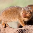 Dwarf mongoose in the Serengeti National Park, Tanzania — Stock Photo