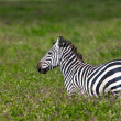 Zebra in the Ngorongoro Crater, Tanzania - Stock Photo
