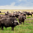 African Buffalo herd in the Ngorongoro Crater, Tanzania — Stock Photo