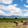 Wildebeests under the dramatic cloudy sky in the Ngorongoro Crater, Tanzania - Stock Photo