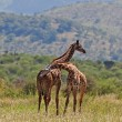 Stock Photo: Giraffes in Tarangire National Park, Tanzania