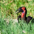 Royalty-Free Stock Photo: Southern Ground Hornbill feeding on insects in open field