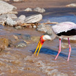 A yellow billed stork standing in the river, Tarangire National Park, Tanzania — Стоковая фотография
